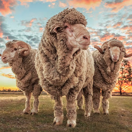King of the Rams by Barbara Scott - Animals Other ( country, king, sunset, farm, three, sheep, ram )