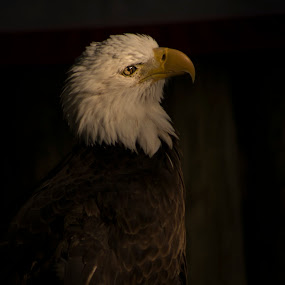 Bald Eagle by Jeri Curley - Animals Birds ( bird, eagle, bald eagle, raptor,  )