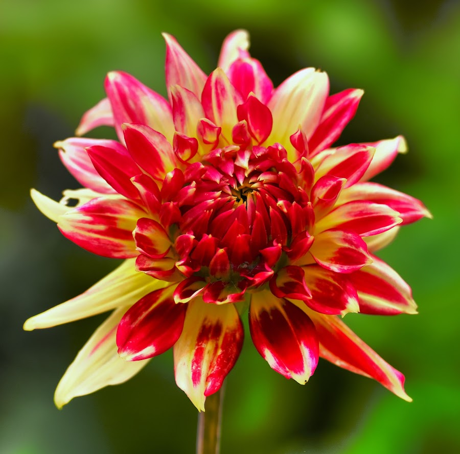 Red/ Yellow Dahlia budding by Jim Downey - Flowers Single Flower ( red, green, dahlia, budding, yellow )