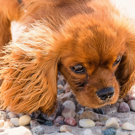 Ruby King Charles Spaniel by Dave Lipchen - Animals - Dogs Puppies ( ruby king charles spaniel )