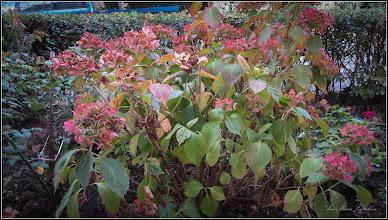 Photo: Hortensie (Hydrangea) - de pe Calea Victoriei,  B15 - 2017.10.10