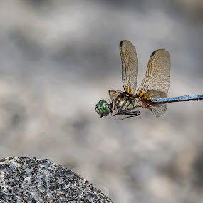 A Place To Land by Roy Walter - Animals Insects & Spiders ( nature, summer, bug, lake, insect, dragonfly )