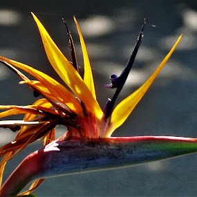 by Orpa Wessels - Flowers Single Flower (  )