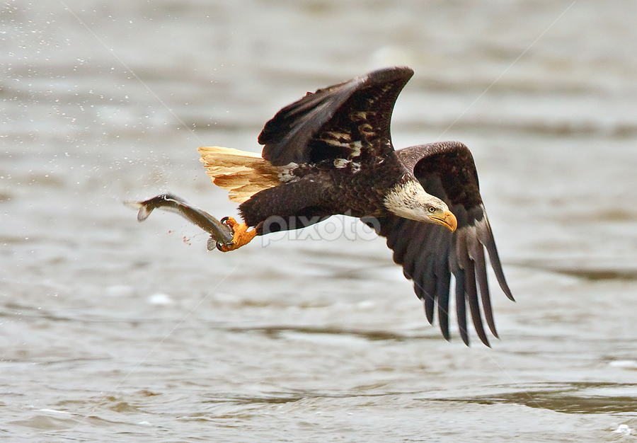 by Herb Houghton - Animals Birds ( eagle, bird of prey, bald eagle, raptor )