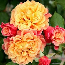 Photo: Kletterrose Aloha - Kordes' Rose Aloha®, Züchter: W. Kordes' Söhne 2003