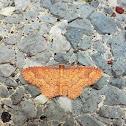 Eois Moth