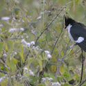 PIED/PIED CRESTED/JACOBIN CUCKOO