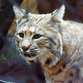 Roberto Gato by Donna Probasco - Animals Lions, Tigers & Big Cats (  )