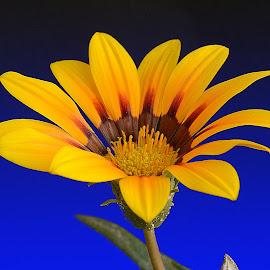 by Mohamed Habib - Flowers Single Flower