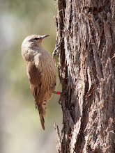 Photo: Brown Treecreeper