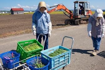アスパラ収穫のお手伝い