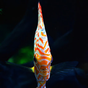 glow in the dark by Dhannie Setiawan - Animals Fish ( water, underwater, fish, yellow, glow, black )