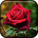 Red Rose Blooming LiveWP icon