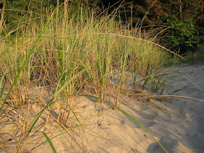 Photo: Sand grass, shore lake Michigan