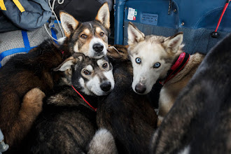 Photo: Several of DeeDee Jonrowe 's dog team are loaded into pilot Jerry Wortley 's plane for the ride out of Rohn after DeeDee scratched from the race.  Iditarod 2014  PHOTO BY JEFF SCHULTZ/IDITARODPHOTOS.COM  USE ONLY WITH PERMISSION