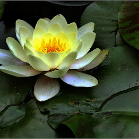 Water lily by Marissa Enslin - Nature Up Close Other plants (  )