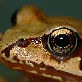 Common Frog Portrait by Pat Somers - Animals Amphibians (  )