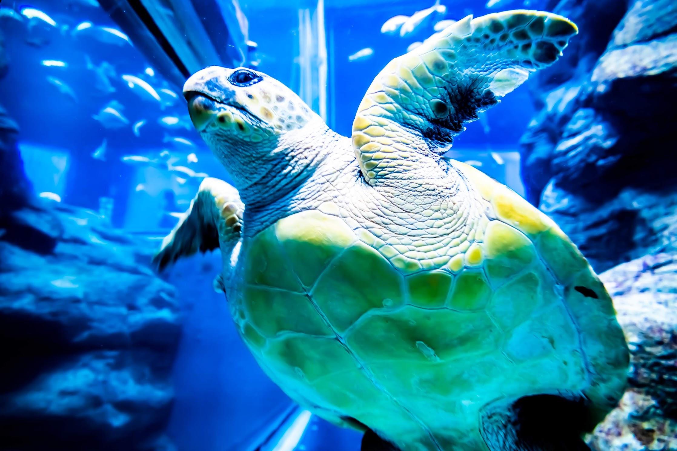 Osaka Aquarium KAIYUKAN Loggerhead seaturtle