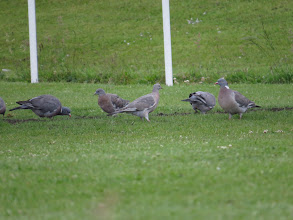 Photo: 29 Jun 13 Priorslee Lake: Two juvenile Wood Pigeons centre-stage: note no neck pattern and rather palter plumage. Does not show here but they have strikingly pale feet! (Ed Wilson)