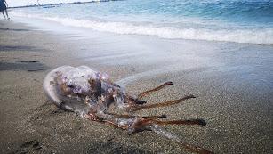 Una de las medusas aparecidas hoy en El Zapillo. Foto de Pepe Martínez.