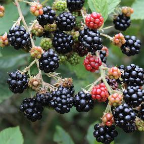Blackberries by Terese Hale - Nature Up Close Trees & Bushes ( sweet, brambles, ripe, woods, berries )