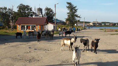 Photo: Соловецкие козы
