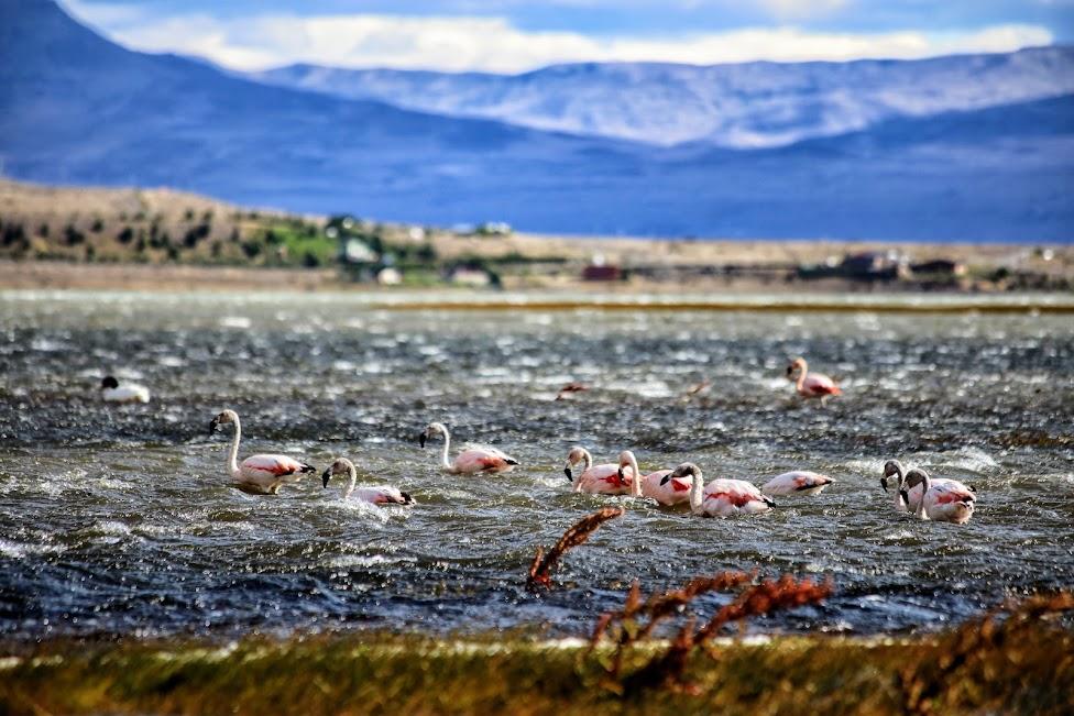 Flamingi na Lago Argentino
