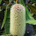 Swamp Banksia