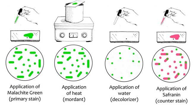 Schaeffer & Fulton's Spore Stain procedure
