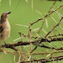 Sparrow  -  Rufous Sparrow