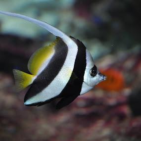 Bannerfish by Steen Hovmand Lassen - Animals Fish ( reef, underwater, bannerfish, yellow, swimming, black )
