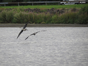 Photo: 13 Aug 13 Priorslee Lake: Two of the juvenile Herons have a small dispute. (Ed Wilson)