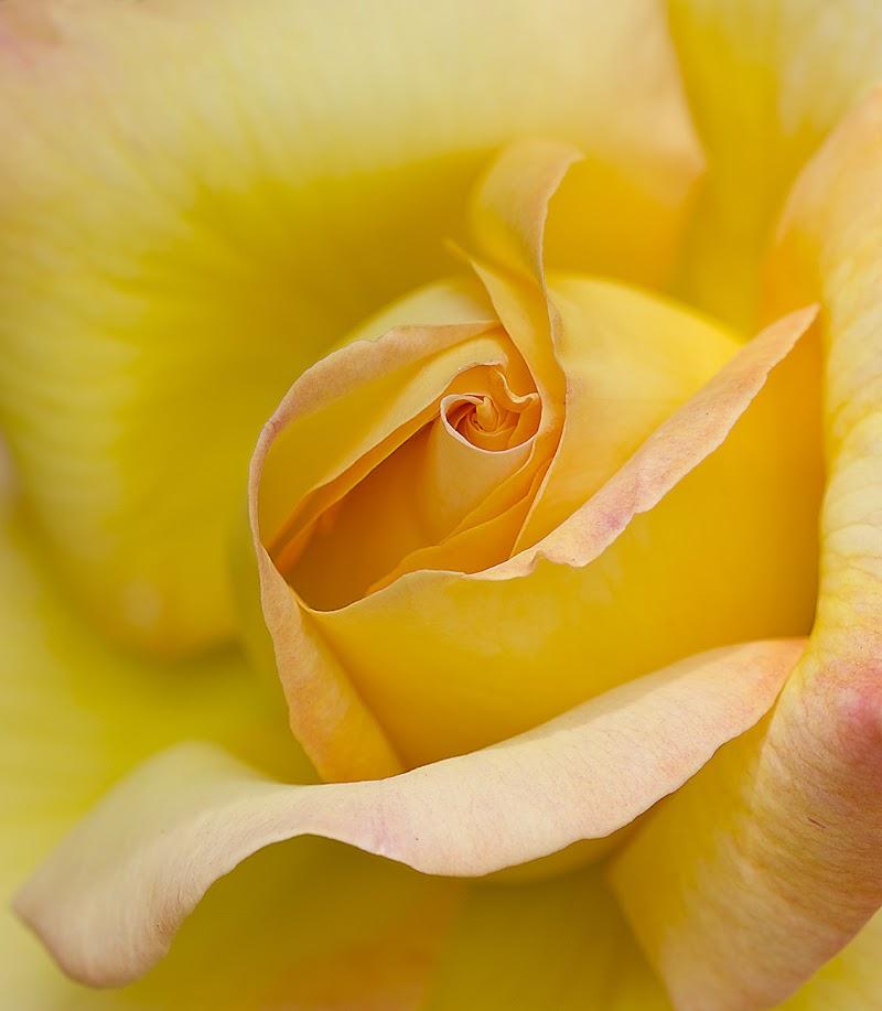 Giallo rosa di Cristina Rocca