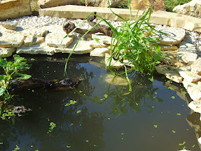 Photo: vasárnap töltöttük fel a tavat vízzel, barátoktól és faiskolából kaptunk bele ebihalat, békát, növényeket https://www.facebook.com/reginakertgodollo