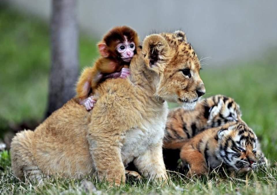 baby-monkey-lion-cub-play-at-Guaipo-Manchurian-Tiger-Park-Shenyang-China.jpg