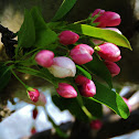 Flowering crabapple blooms