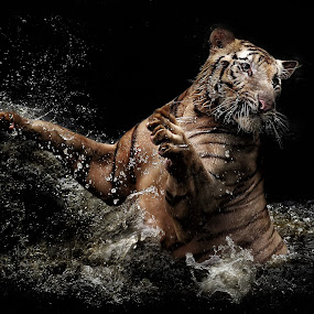 coming to get you by Ivan Lee - Animals Lions, Tigers & Big Cats ( canon, water, tiger, splash, pwcmovinganimals, jump, animal, motion, animals in motion, pwc76,  )