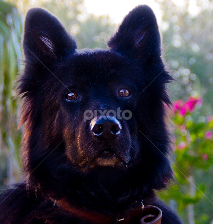 Belgian shepherd by Carl McAlpine - Animals - Dogs Portraits ( black dog, belgian shepherd, old dog, dog portrait, dog )