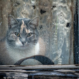The old window and cat. by Miro Trimay - Animals - Cats Portraits ( big cat, cat, window, old cat, old window )