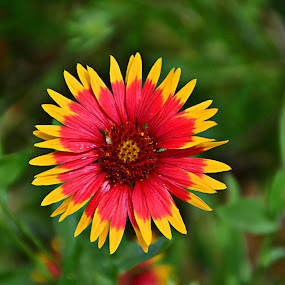 ----------Indian Blanket---------- by Neal Hatcher - Flowers Flowers in the Wild (  )