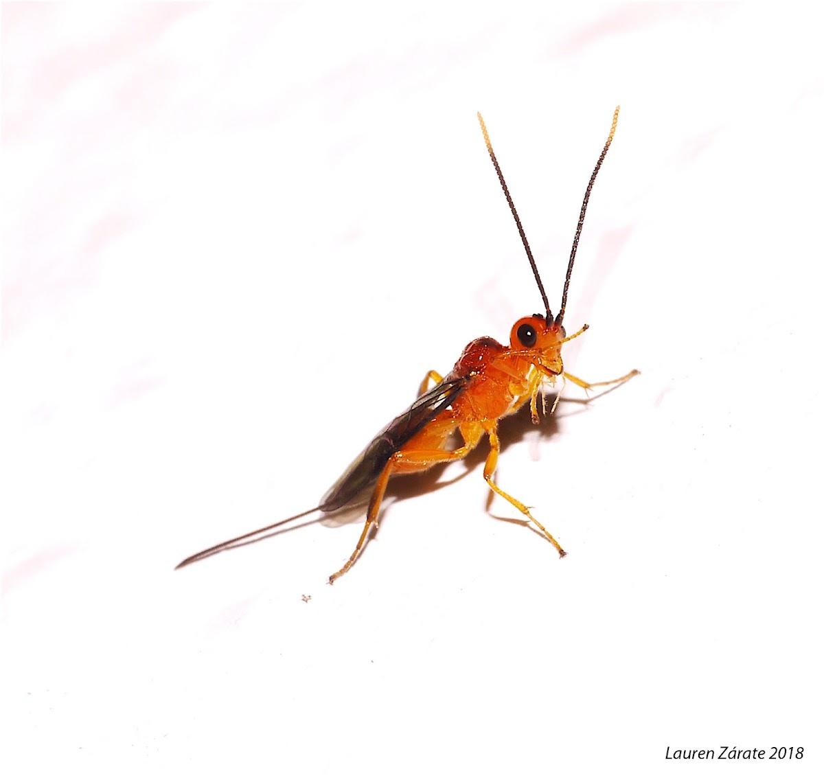Micro Wasp