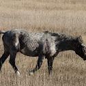 Nokota Horse