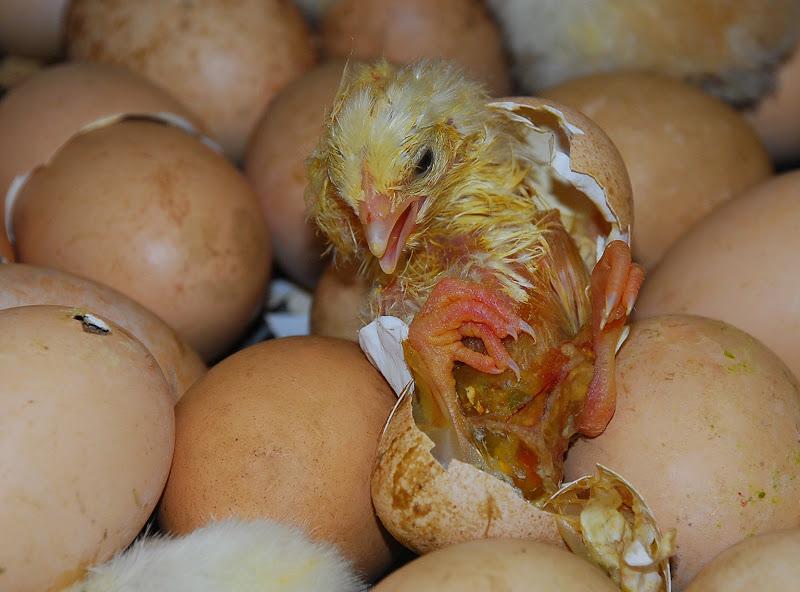 Appena uscito dall'uovo di BASTET-Clara