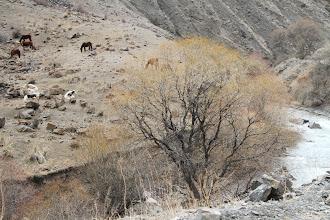 Photo: Įprastas vaizdas - ožkų/karvių/arklių kaimenės slėniuose prie sraunių kalnų upių.  The common view - the herds of goats/cows/horses somewhere in a valey.