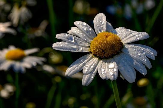 of Daisy flower