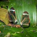 Clearwing Butterfly