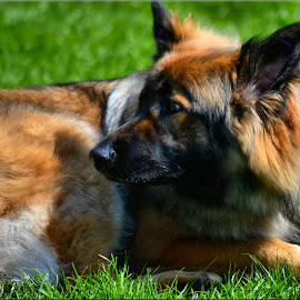 by Nic Scott - Animals - Dogs Portraits ( german shepherd, animal, pooch, dog )