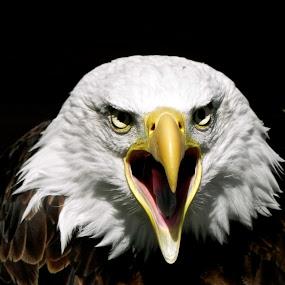 Eagle Eyes by Sarah Nelson - Animals Birds ( brave, eagle, american, bald eagle, birds )