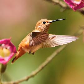 HummerFun ~ 99918~ 1 by Raphael RaCcoon - Animals Birds
