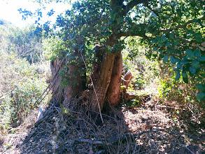 Photo: Oak growing next to eucalyptus stumps